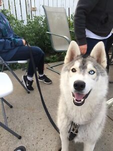 Siberian Husky Looking For a New Home