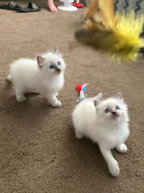 Lovely Ragdoll Blue Colourpoint Kittens