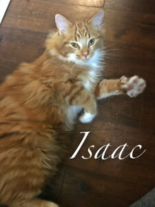 Isaac - Infinity Haven Cat and Kitten Rescue