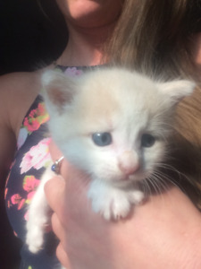 7 week old kittens for sale