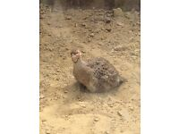 Gora teeter / Francolin pair for sale !!260 ovno