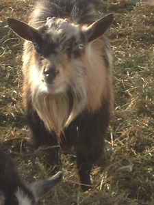 Registered Nigerian Dwarf Buck and Cross breed does and wether
