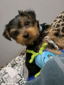 8 week old male yorkie for rehoming