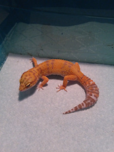 !!!!!! Lots of leopard geckos forsale want gone !!!!