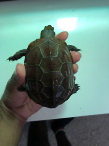 Reeves Turtle For Sale