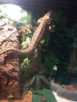 Bearded Dragon & Terrarium
