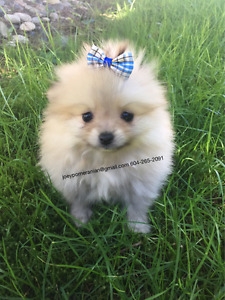 Pomeranian Puppies ❤ Exotic Colours ❤ Teacup and Toy