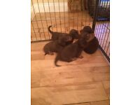 Miniature longhaired chocolate Dachshund puppies for sale