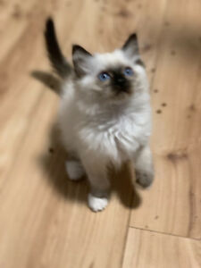 Chaton ragdoll pure race