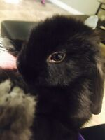 Lop eared bunny for sale