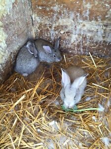 7 weeks old New Zealand rabbits for sale