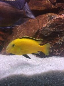 African Cichlids: Electric Yellow Labs fry/juveniles