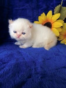 WHITE HIMALAYAN  CREAM PT MALE AVAILABLE