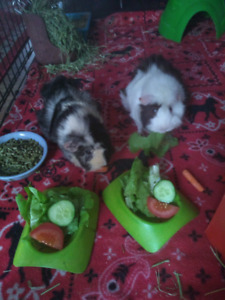 Seeking new home for rescued guinea pigs, must go together!