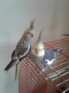 Breeding pair of cockatiels with 4 eggs, cage and nesting box