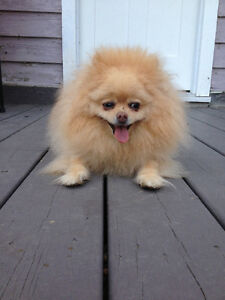 Have you seen our Pomeranian dog?