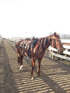 Trained horse for sale