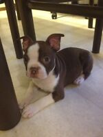 Price reduced! Last Frenchton baby!