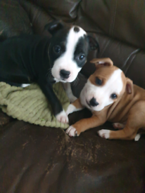Staffy pups 1 boy and 1 girl left