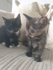 8 week old kittens