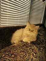 Beautiful Brown Dollface Persian Kitten !