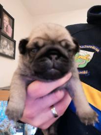 Pug puppies ( kc reg) 1 boy 1 girl left