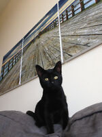 Black Cat 1 year old has been spayed.