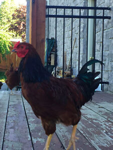 Partridge Chantecler Rooster