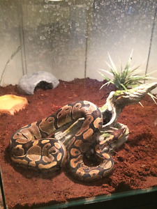 Selling 3 Year Old Female Ball Python with Tank and Accessories!
