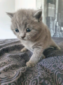 Pedigree British Shorthair Kittens GCCF Reg