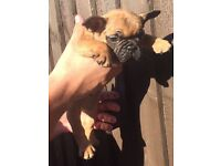 Pedigree Blue Sable French Bulldogs. Ready to Go