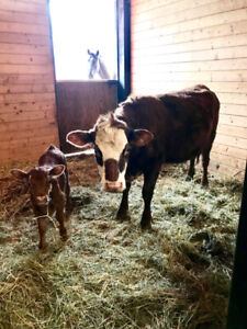 Cow with bull calf at side