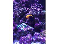 Flame back angelfish