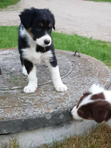 Healthy, Happy & Well Socialized Registered Border Collie Pups