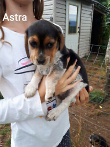 Beagle | Adopt Dogs & Puppies Locally in Canada | Kijiji
