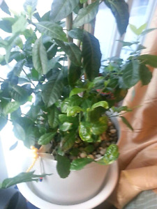 Large size plant outdoor and indoor Gardenia