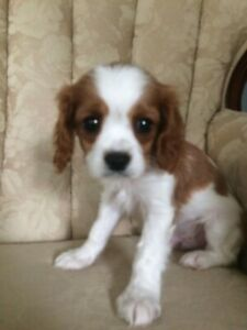 Cavalier | Adopt Dogs & Puppies Locally in Canada | Kijiji