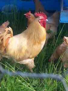 Buff Orpington eggs & chicks