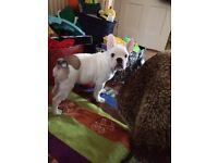 Full breed French bulldog