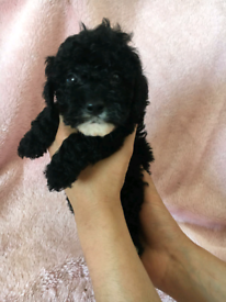F1b 7 toy cockerpoo puppies left out of 9
