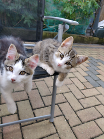 Gorgeous kittens for sale - to go together