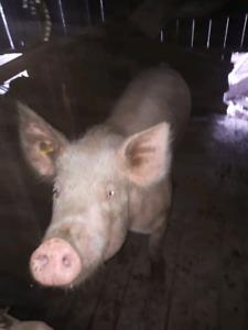 400 pound sow $300