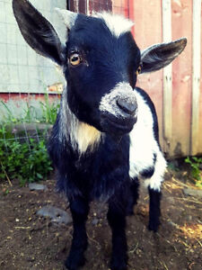 DUKE 4 month Pygmy Goat Male/Banded