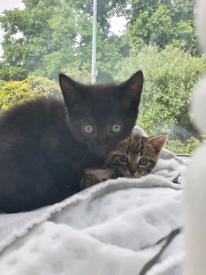 Beautifull kittens ready to go 2 BLACK BOYS AVailable