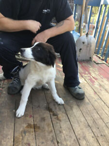 Maremma/Akbash Livestock Guardian Dogs for sale