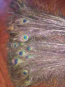 Peacock Feathers - leftover from Wedding Sarnia Sarnia Area image 2