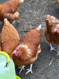 POL Isa Brown Chickens/Hens