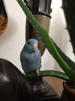 Pretty blue parrotlet