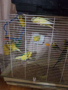 African budgies pair
