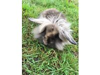 Beautiful baby rabbit free local delivery